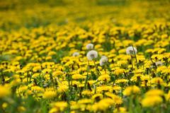 Prairie en fleurs (Croc'odile67) Tags: nikon d3300 sigma contemporary 18200dcoshsmc paysage landscape fleurs flowers nature printemps spring fruhling prairie pissenlit dandelion