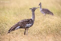 Kori Bustards - Kruger National Park (BenSMontgomery) Tags: kori bustards kruger national park forage insect bird wildlife satara s90 central south africa safari large