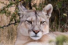 Puma, Torres del Paine (Ian.Kate.Bruce's Wildlife) Tags: puma pumaconcolor felidae mountainlion cougar bigcats cat mammal wildlife nature ianbruce katebruce torresdelpaine patagonia chile southamerica