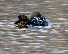 Common Loon - Lake Petersburg, central Illinois (emace) Tags: commonloon nature animal wildlife bird waterfowl lakepetersburg menardcounty centralillinois spring perched preening