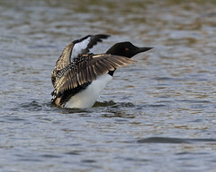 Common Loon - Lake Petersburg, central Illinois (emace) Tags: commonloon nature animal wildlife bird waterfowl lakepetersburg menardcounty centralillinois spring perched flapping