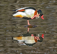 High fives! (acerman17) Tags: lake pond water shelduck colour reflection nature wildlife duck bird animal