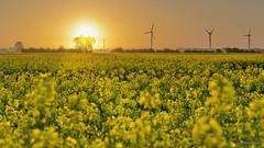 Freude für die Bienen (otto.hitzegrad) Tags: raps sonne blüte gelb morgens felder windkraft