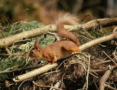 IMG_8985 (2) (kattabrained) Tags: nature woods squirrel