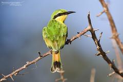 Little Bee-Eater - Kruger National Park (BenSMontgomery) Tags: little beeeater kruger national park emerald sabie river skukuza south africa bird wildlife