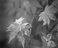 """I can see clearly now ... (Elisafox22) Tags: elisafox22 sony nex6 helios442 helios 258 8blade vintagelens acer monochromebokehthursday hmbt miniatureacer droplets waterdroplets garden latelight leaves sunlight shadows bokeh monotone bw monochrome blackandwhite light dof textures outdoors scotland elisaliddell©2019"