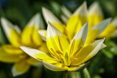 Tarda tulips (Martin von Ottersen) Tags: sel90m28g macro flower blossom blüte spring frühling tarda tulip tulpe
