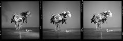 Stillleben (tiltdesign2016) Tags: canoncanoscan9000f analogphotography mittelformat bw yashicamat124g ilfordfp4plus kodakd7611 wuppertal elberfeld pfingstrose blumen flowers still stillleben