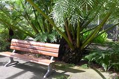 Angiopteris evecta (king fern) (tanetahi) Tags: marrattiaceae eusporangiate fern angiopteris kingfern angiopterisevecta giant fernhouse coottha botanic gardens brisbane