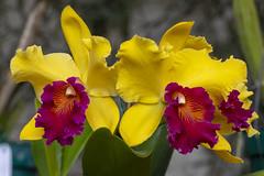 XXI Exposición de Orquídeas (Explore Arb-19-2019) (José M. Arboleda) Tags: orquídea catleya flor exposición premio concurso popayán colombia canon eos 5d markiv ef70200mmf4lisusm josémarboledac