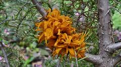 Peer-jeneverbesroest - Gymnosporangium sabinae (henkmulder887) Tags: peerjeneverbesroest roest gymnosporangiumsabinae perenboom jeneverbes schimmel waardplant geel gelei