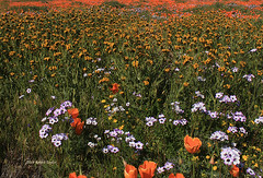 COAT OF MANY COLORS (Day Night Tripper) Tags: blooms blossoms bushlupine california californiapoppy canyons creek daisy eschscholtziacalifornica fiddlenecks flowers foothills goldfields grass hilsidedaisies lupine lupines mountains poppies poppy rivers streams trees wildflowers carpet blanket spring