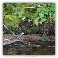 Pb_4250070 (calpha19) Tags: imagesvoyagesphotography adobephotoshoplightroom olympusomdem1mkii zuiko 50200swd printemps 2019 couleursprintemps oiseaux eaux rapide cincleplongeur river rivière lavologne grangessurvologne vosges grandest