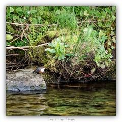 Pb_4250062 (calpha19) Tags: imagesvoyagesphotography adobephotoshoplightroom olympusomdem1mkii zuiko 50200swd printemps 2019 couleursprintemps oiseaux eaux rapide cincleplongeur river rivière lavologne grangessurvologne vosges grandest