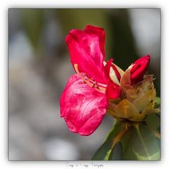 Pb_4250053 (calpha19) Tags: imagesvoyagesphotography adobephotoshoplightroom olympusomdem1mkii zuiko 50200swd printemps 2019 couleursprintemps flore flowers rhododendron garden jardin couleurs flickrsexplore ngc olympus em1mkll