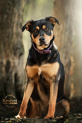Picture of the Day (Keshet Kennels & Rescue) Tags: adoption dog ottawa ontario canada keshet large breed dogs animal animals pet pets field nature photography spring rottweiler lab mix labrador sit pose cute adorable forest
