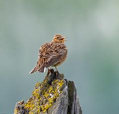 Skylark (wryneck94) Tags: birdwatching somerset somersetlevels