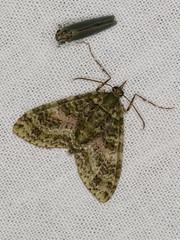 Tympanota perophora (dhobern) Tags: 2019 april australia geometridae lamingtonnationalpark larentiinae lepidoptera qld tympanotaperophora