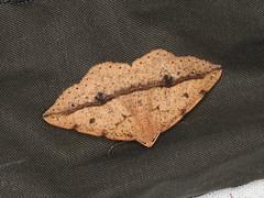 Taxeotis epigaea (dhobern) Tags: 2019 april australia lamingtonnationalpark lepidoptera qld geometrdae larentiinae taxeotisepigaea