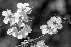 Spider web (takapata) Tags: sony sel90m28g ilce7m2 macro nature flower spider web