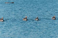 Greylag Goose, Upper Pen Pond (Johnchess) Tags: richmondpark fridaybirdgroup 19april2019