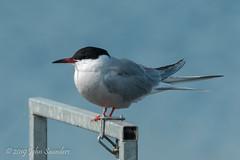 Common Tern (Johnchess) Tags: richmondpark fridaybirdgroup 19april2019