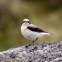 Wheatear (geoffacampbell) Tags: wheatear birds britishbirds devon uk dartmoor