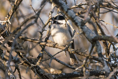 Chickadee (matthewthecoolguy) Tags: blue brown white bird chickadee spring forest tree branches nature sony sonyalpha wisconsin