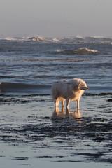IMG_7591 (armadil) Tags: mavericks beach beaches californiabeaches us onthebeach dog whitedog pyreneesdog