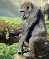 western lowlandgorilla Nimba Burgerszoo 094A1202 (j.a.kok) Tags: aap animal africa afrika ape mammal monkey mensaap primate primaat zoogdier dier gorilla westelijkelaaglandgorilla westernlowlandgorilla lowlandgorilla laaglandgorilla burgerszoo