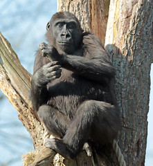western lowlandgorilla Burgerszoo 094A1237 (j.a.kok) Tags: aap animal africa afrika ape mammal monkey mensaap primate primaat zoogdier dier gorilla westelijkelaaglandgorilla westernlowlandgorilla lowlandgorilla laaglandgorilla burgerszoo