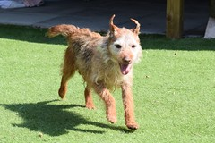 Fang (9) (AlmostHome_Dog) Tags: almost home dog rescue north wales terrier border