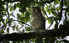 Brown Fish Owl (j.m.sohag) Tags: owl brownfishowl birds nocturnal nature