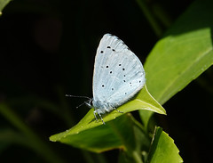 Holly Blue (hedgehoggarden1) Tags: hollyblue butterfly lepidoptera insect creature nature sonycybershot gardenwildlife norfolk eastanglia uk sony