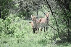 Waterbuck (Robert Styppa) Tags: tanzania nikon nikond850 robertstyppa africa wildlife serengeti ngorongoro waterbuck