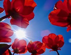 Beautiful day. Tulips. (elsa11) Tags: tulips tulpen bulbfields bulbs bollenvelden nederland netherlands egmond noordholland spring lente flower bloemen