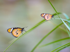 Papallones monarca (Danaus plexippus) (vfr800roja) Tags: madagascar ambalavao regióndehautematsiatra