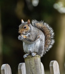 Pierremont Park squirrel, Broadstaairs (philbarnes4) Tags: squirrel feeding pierremontpark philbarnes broadstairs thanet kent england nikon nikond5500