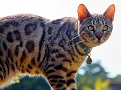 Bengal cat (johnlauper) Tags: bengalcat cat pet feline animal