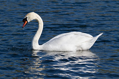 At Whitlingham Broad (ihavenowords) Tags: swan white water blue whitlingham broad lake norfolk norwich uk england great britain bird april 2019 outside countryside nature feathers canon eos animal