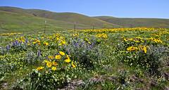 SPRING! (Team Hymas) Tags: washington columbia river gorge wild flowers springtime