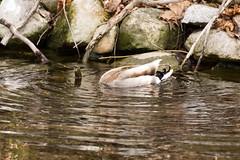 7K8A3620 (rpealit) Tags: scenery wildlife nature east hackettstown mallard duck bird