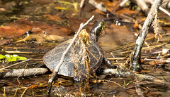7K8A3665 (rpealit) Tags: scenery wildlife nature east hackettstown painted turtle