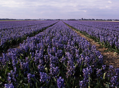 Hyacinten (Ernst-Jan de Vries) Tags: