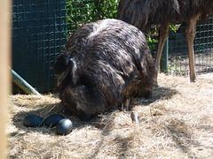 emu (1) (anettweiss) Tags: essehof tierpark