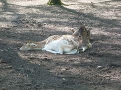 damwild (2) (anettweiss) Tags: essehof tierpark