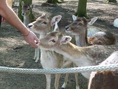 damwild (1) (anettweiss) Tags: essehof tierpark