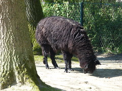 alpaka (3) (anettweiss) Tags: essehof tierpark