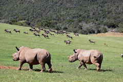 South Africa (Yorkie Chris) Tags: wildlife nature africa southafrica rhino wildebeest animals gnu