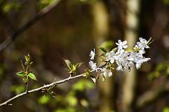 Schaffhausen - Kirschzweig (pe_ma) Tags: zweig blüte kirsche wald